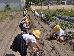 黒豆を畑に植えています。