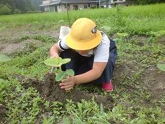 黒豆の茎のところに土を盛っています。