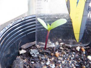 芽の大きさ・高さ